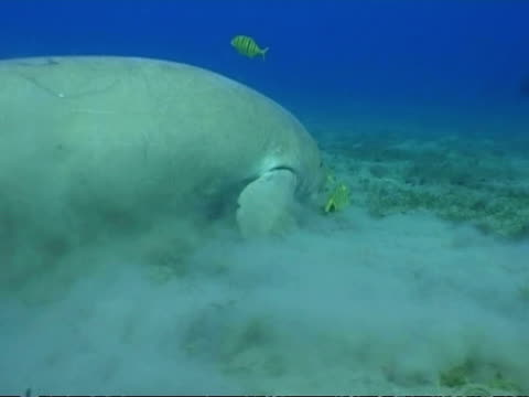 MS Dugong, Dugong dugon, swimming and foraging, side view, Egypt, Red Sea