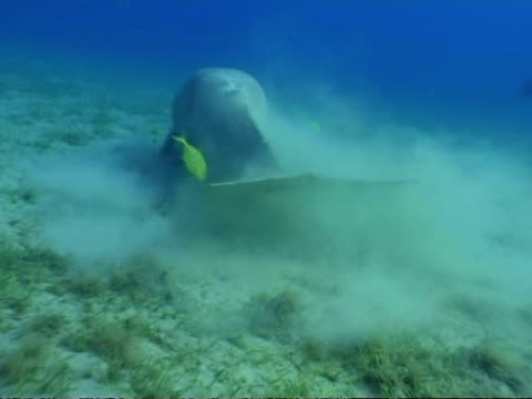MS Dugong, Dugong dugon, swimming from rear, tail over seagrass, Egypt, Red Sea