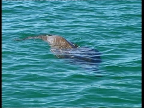 ms dugong, dugong dugon, swimming in sea, sequence of topside and underwater shots, australia; sequence of clips, special terms apply - dugong stock videos & royalty-free footage