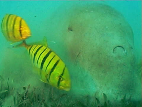 Dugong feeding on Sea grass showing big lips and pilot fish BCU