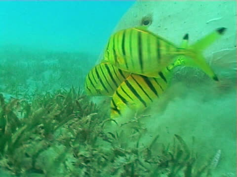 vídeos de stock e filmes b-roll de dugong feeding on sea grass showing big lips and pilot fish  bcu - peixe piloto