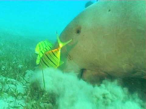 dugong feeding on sea grass showing big lips and pilot fish  bcu - dugong stock-videos und b-roll-filmmaterial