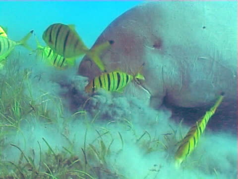 dugong munching on sea grass  from ws to mcu - dugong stock-videos und b-roll-filmmaterial