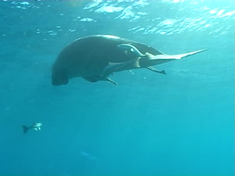 dugong on the surface to breath with remoras  shafts of sunlight flicker through blue water ws - dugong stock videos & royalty-free footage