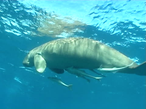 Dugong on the surface to breath with remoras  shafts of sunlight flicker through blue water WS