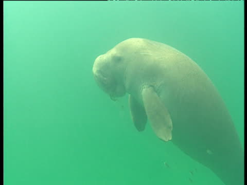 Dugong surfaces as it chews on seagrass then swims away, Shark Bay, Western Australia