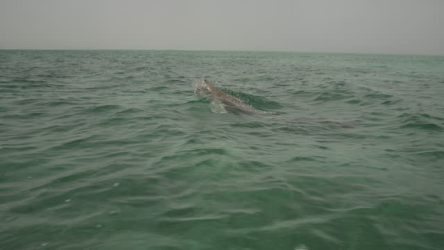 Dugong (Dugong dugon) surfaces in sea, UAE