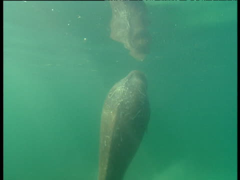 dugong surfaces in shark bay, western australia - dugong stock videos and b-roll footage