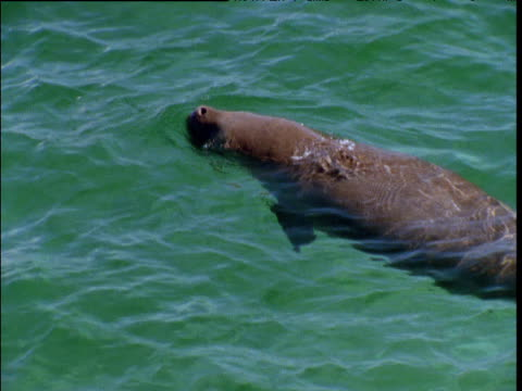 Dugong surfaces, spouts and submerges in Shark Bay