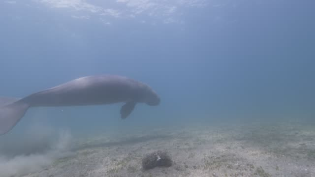dugong swimming - dugong stock videos & royalty-free footage