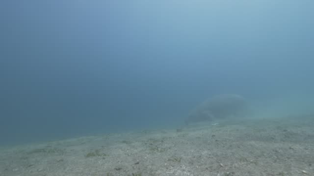 dugong swimming - dugong stock-videos und b-roll-filmmaterial