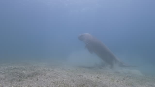 dugong swimming - dugongo video stock e b–roll