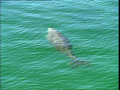 Dugong swims and surfaces in Shark Bay, Western Australia