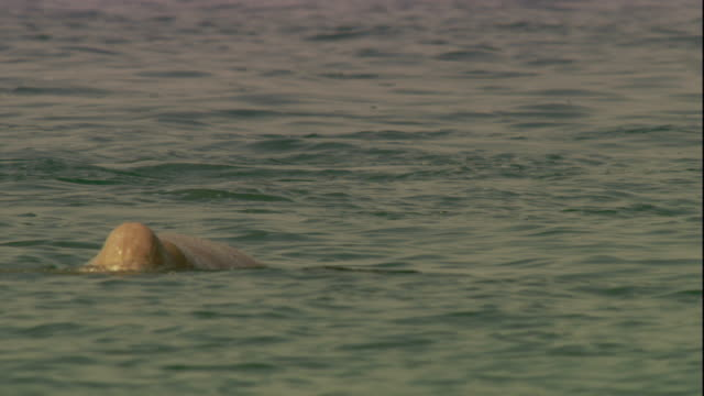 a dugong swims in shallow water. available in hd. - dugongo video stock e b–roll