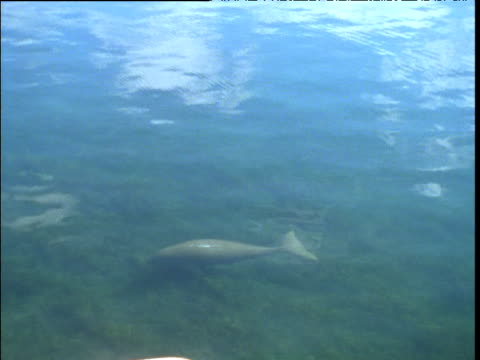 dugong swims in shallows of shark bay, western australia - dugong stock videos and b-roll footage