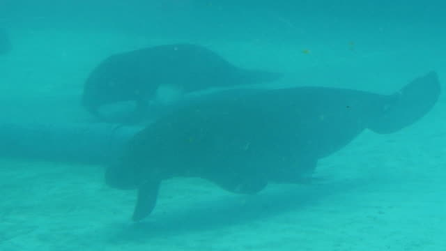 dugongs , under water scene - dugong stock videos & royalty-free footage