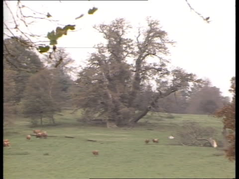 duke and duchess of york: new house; itn england: berks: windsor: sunninghill park: ext tree in fields pull out cows grazing - ヨーク公爵夫人点の映像素材/bロール