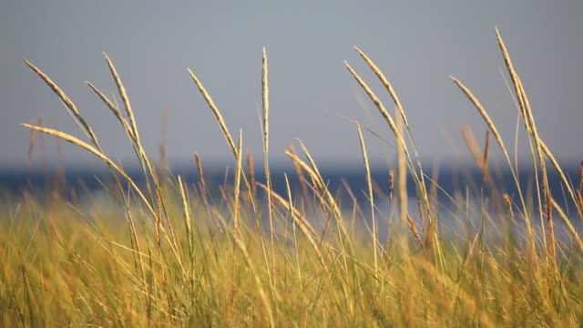 hd dune grass at coast in wind - marram grass stock videos & royalty-free footage