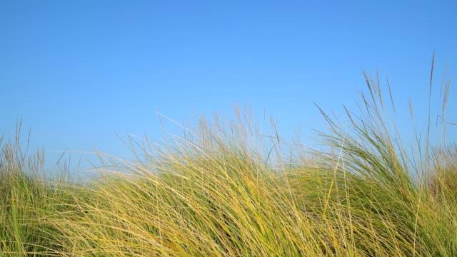 dune grass on the beach, punta sabbioni, venice, venetian lagoon, mediterranean sea, veneto, italy - marram grass stock videos & royalty-free footage