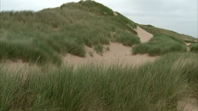 ws dune w/ marram grass protecting most of sand dune moving in light wind stable grass more dunes bg pan beachfront dunes sea grass no people sites... - marram grass stock videos and b-roll footage
