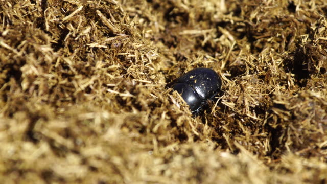Dung and beetles