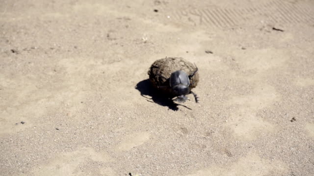 HD: Dung Beetle and it's Poo