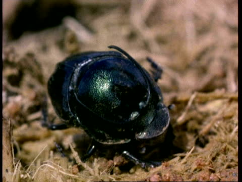 cu dung beetle burrows into dung, kenya - dung stock videos & royalty-free footage