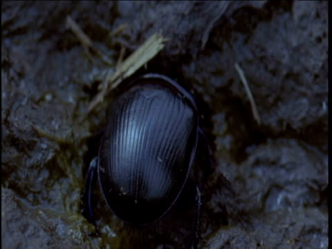 vidéos et rushes de dung beetle burrows into fresh cow pat - creuser