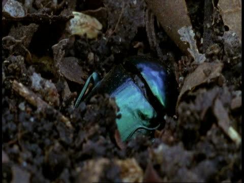 cu dung beetle burying dung ball, bandhavgarh national park, india - bandhavgarh national park stock videos and b-roll footage