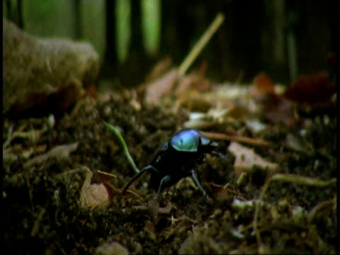cu dung beetle crawling over ground, bandhavgarh national park, india - bandhavgarh national park stock videos and b-roll footage