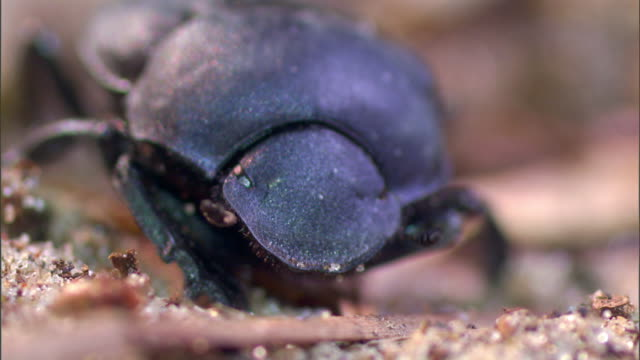 a dung beetle crawls around sand and grass. - crawling stock videos & royalty-free footage