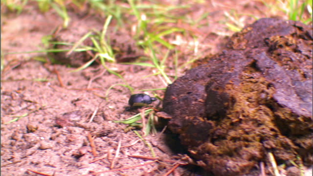 a dung beetle crawls over a pile of animal dung and feeds there. - crawling stock videos & royalty-free footage