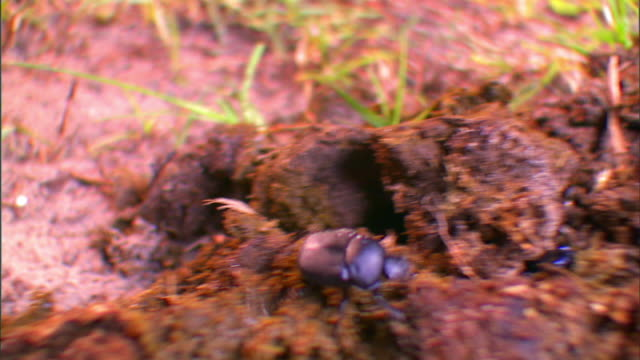 a dung beetle crawls over animal dung. - crawling stock videos & royalty-free footage
