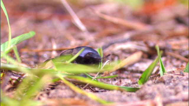 a dung beetle crawls over blades of grass. - crawling stock videos & royalty-free footage