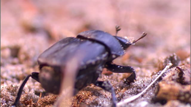 a dung beetle crawls over sand and flies away. - gliedmaßen körperteile stock-videos und b-roll-filmmaterial