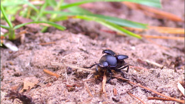 a dung beetle crawls over sand, then flies away. - gliedmaßen körperteile stock-videos und b-roll-filmmaterial