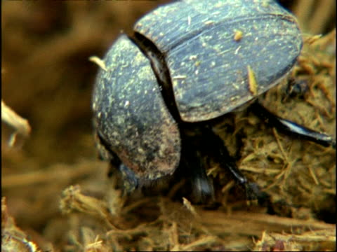 Dung Beetle, CU ephant dung ball, Kenya, Africa