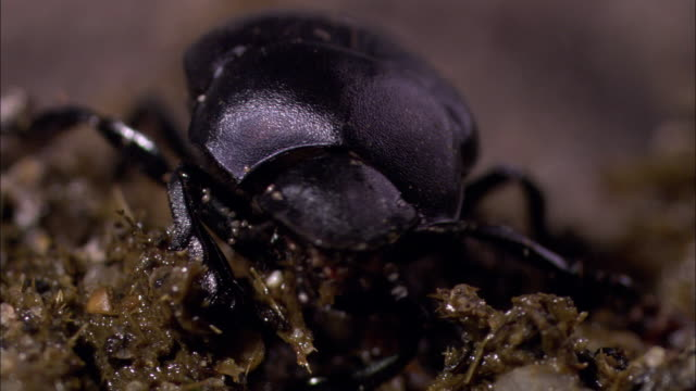 a dung beetle feeds on animal dung. - dung stock videos & royalty-free footage