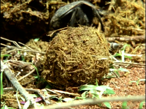 Dung Beetle, MS moves elephant dung ball along ground, Kenya, Africa