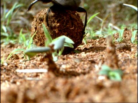 Dung Beetle, moves elephant dung ball along ground, Kenya, Africa