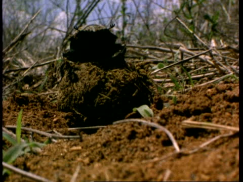 ms dung beetle on top of dung ball, kenya - crawling stock videos & royalty-free footage