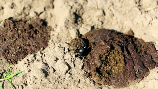 dung beetle on work - dung stock videos & royalty-free footage