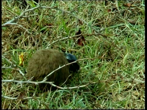 dung beetle rolling dung ball over twig, south india - twig stock videos & royalty-free footage
