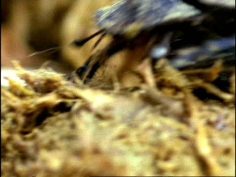 dung beetle (superfamily scarabaeoidea) rolling dung, sequence, kenya - dung stock videos & royalty-free footage