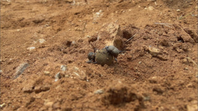 Dung Beetle rolling dung (Sisyphus Schaefferi one of the endangered species)