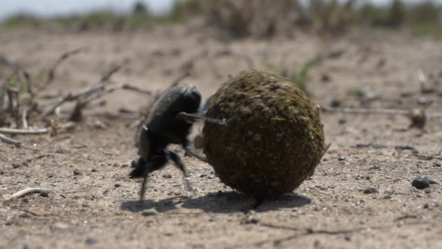dung beetle rolling the ball in slow motion - 昆虫点の映像素材/bロール
