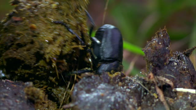 a dung beetle rolls a chunk of dung off a larger piece. - crawling stock videos & royalty-free footage