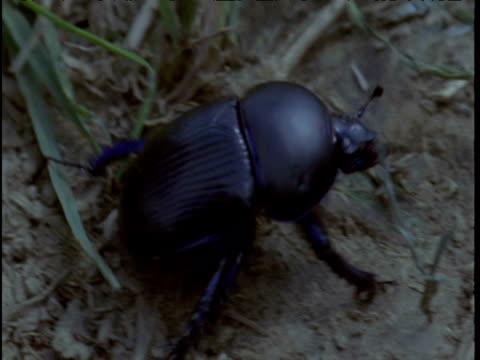 dung beetle scurries in field - animal bone stock videos & royalty-free footage