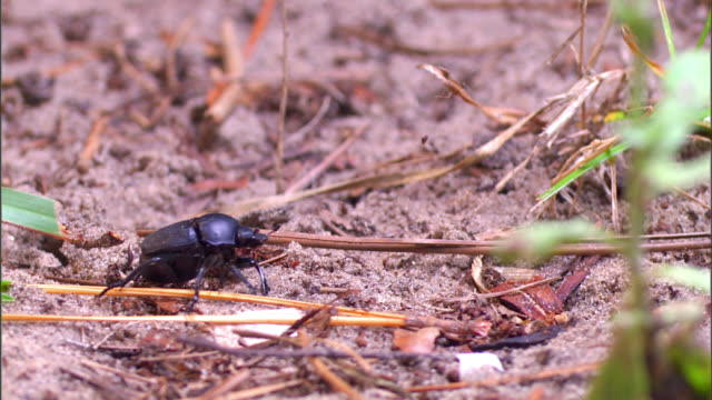 a dung beetle sits on sand, then flies away. - gliedmaßen körperteile stock-videos und b-roll-filmmaterial
