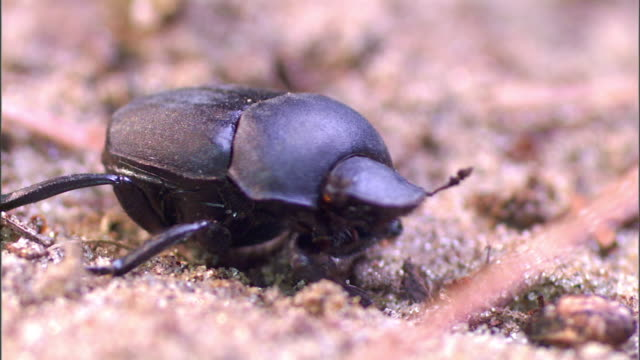 a dung beetle stands on sand and looks around, then crawls away. - animal antenna stock videos & royalty-free footage